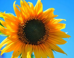 yellow-sunflower-403172_640